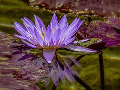 Water Lily MG_0079 (918monty) Tags: dallasarboretumandbotanicalgarden water lilies waterlilies aquatic aquaticplants waterlilypetals dallas texas flowerflowerflower madaboutflowers flowersarebeautiful simplyflowers
