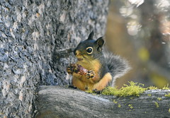 Douglas Squirrel (Christopher Lindsey) Tags: wrightslake douglassquirrel eldoradocounty california chickaree mammal