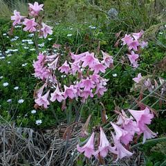 *Amaryllis belladonna, NAKED LADIES. (openspacer) Tags: amaryllidaceae amaryllis nonnative