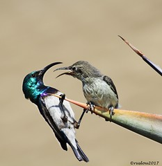 White-bellied Sunbird (Cinnyris talatala) 11 cm; 7.5 g. Pretoria, South Africa. (ruslou (More off than on)) Tags: whitebelliedsunbird witpenssuikerbekkie cinnyristalatala pretoria southafrica ruslou nectariniatalatala whitebreastedsunbird