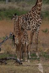 Masai Giraffe 01 (rhys.thatcher) Tags: africa giraffe lakemanze mammal masaigiraffe selous tanzania