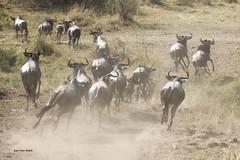 Migracao GNU - Travessia do Rio Mara 36 (Joao Pena Rebelo) Tags: tanzania gnus wildebeest migration safari serengeti wildebeests marariver