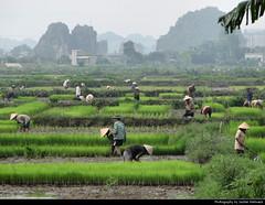 Rice farmers, Ninh Binh, Vietnam (JH_1982) Tags: rice farmers agriculture fields hats traditional farming farm reisfeld reisfelder ninh binh ニンビン 닌빈 ниньбинь นิญบิ่ญ vietnam viet nam việt viêt 越南 ベトナム 베트남 вьетнам karst mountains landscape scenery scenic nature bình 寧平市