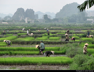 Rice farmers, Ninh Binh, Vietnam