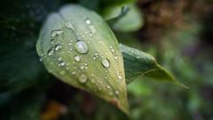 Drops - Bastian Kratzke (Bastian.K) Tags: laowa15mm venus optics laowa 15mm 20 zero d sony a7rii drop raindrop bubble leaf leaves blatt blätter grün green a7rm2 goutte deau tropfen germany deutschland stuttgart