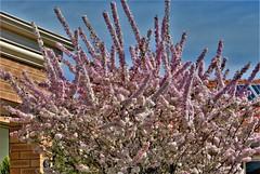 DSC_0050 : My Garden Spring 2017 (aciamax) Tags: aciamax mygarden flowers blossom bulbs hellebors spax fressias melbourne victoria australia roses camellias daffodils