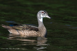 Wood Duck (male - juvenile) ©