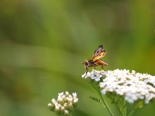 Insekt bei der Nahrungsaufnahme