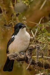 TROPICAL BOUBOU (dmberman1) Tags: eastafrica wildlife birds africasafari ngorongorocrater ngorongoroconservationarea animals tropicalboubou tanzania birdsofprey raptor