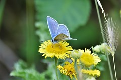 Blue on yellow. (pstone646) Tags: butterfly insect nature wildlife flower kent bokeh fauna flora animal blue