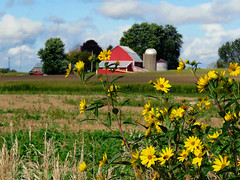 Even the simplest things can be beautiful.... (Laura Rowan) Tags: farm compassplant horiconarea beauty rural midwest nature
