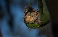 'Eriophora' (dustaway) Tags: arthropoda arachnida araneae araneomorphae araneidae araneinae orbweaver australianspiders lismorerainforestbotanicgardens lismore northernrivers nsw nature australia