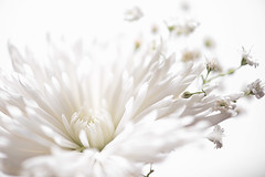 It'll be all white (LoomahPix) Tags: 7dwf colour d750 flickr floral nature naturesgallery nikon beautiful beauty flora flower highkey natural organic organiccomposition summer white whitebackground