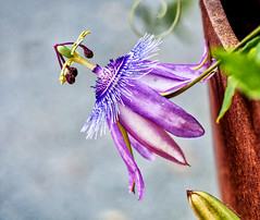 Weekend Passion (Silke Klimesch) Tags: 7dwf fridaysflora passionflower passifloracaerulea purple green rust berlin passionsblume naturparksüdgelände schöneberg passiflore pasionaria flordelapasión passiflora fioredellapassione passionsblomma martírio maypop mburucuyá męczennica 時計草 çarkıfelekçiçeği страстоцве́т nikcollection mzuikodigitaled60mm128macro olypmus omd em5 microfourthirds
