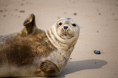 Hi from Horsey (Fleety Vision) Tags: horsey beach bay norfolk seals nature grey colony wave sea