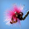 Silk tree flower (PeterCH51) Tags: usa us florida albizia mimosa silktree seidenbaum pink flower seidenakazie albizie square squareformat peterch51 sarasota botanicalgarden marieselbybotanicalgardens