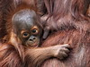 Dinnertime! (Darts5) Tags: lowryparkzoo lowrypark lowryzoo zoo primate primates teat 7d2 7dmarkll 7dmarkii 7d2canon ef100400mmlll closeup canon7d2 canon7dmarkll canon7dmarkii canon canonef100400mmlii