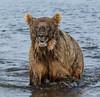 Too Close for Comfort   (Explored) (cheryl strahl) Tags: alaska katmainationalparkandpreserve funnelcreek grizzlybears brownbear bears creek wild closeencounter danger ngc flickrexplore explore