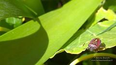 107 (bebsantandrea) Tags: levanto baiedellevante liguria natura campagna wild giardino fiori rosa pesco ciliegia fico ficodindia carciofo formica topo libellula mosca zanzara grillo ape vespa lucertola lizard farfalla butterfly riccio cimice ramarro afide pianta albero ragnatela gocce raindrop microcosmo sfingedelgalio farfallacolibrì ragno spider limone arancio arancia boragine impollinatrice cicala autunno estate primavera inverno bruco margherita zucca lampone fragola mantidereligiosa gallina coniglio coccinella kiwi