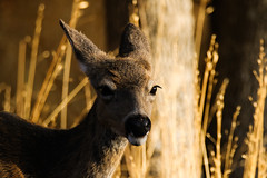 Staying in shadow (Brown Acres Mark (always 2 days behind)) Tags: blacktaileddeer odocoileushemionuscolumbianus doe siskiyoumountains oregon roguevalley southernoregon jacksoncounty usa markheatherington