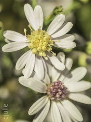 jumelle désynchronisée (cjuliecmoi) Tags: fleur macro proxiphotographie macrophotographie macrophotography flower détail