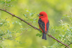 Scarlet Tanager (Joe Branco) Tags: ontario canada photoshopcc2017 songbirds wildlifephotography joebrancophotography nikond500 nikon branco joe birds wildlife scarlettanager green