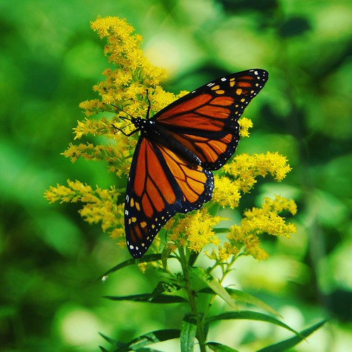 Monarch Butterfly at Paletta Park, Burlington Ontario, From FlickrPhotos