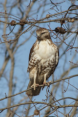 Red-tailed hawk (Buteo jamaicensis) (famasonjr) Tags: nature wildlife redtailed hunting canoneos7d canonef28135mmf3556isusm ngc