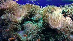 Anemones and clownfish (Linda DV) Tags: lindadevolder 2017 canaryislands canarias spain europe geotagged nature fauna zoo animalpark samsung smartphone galaxy note4 ribbet anemone clownfish