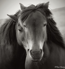 Two Into One. (ronalddavey80) Tags: infocus highquality ponies wildlife monotone dartmoor