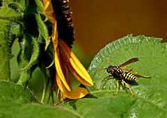 Strolling along (mariposa lily) Tags: insect insects sunflower sunflowers bug bugs yellowjacket yellowjackets nikonnikond3300 d3300 wasp wasps macro autumncolors fallcolors autumn stroll strolling flyinginsect flyinginsects yellow