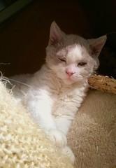 Au soleil... (Antiphane) Tags: cat chat chaton kitten selkirk rex pet animal de compagnie