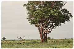 """I Have A Great Seat for the Show"" (The Spirit of the World) Tags: lioness lion acacia trees balloons landscape masaimara themara morning svannah kenya safari gamedrive gamereserve hotairballoon view africa eastafrica nationalpark raresighting humorous nature wildlife"