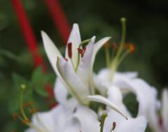 DSC06416 (Old Lenses New Camera) Tags: sony a7r ricoh ricoh126cflex rikenon telerikenon 100mm f28 plants garden flowers lilies