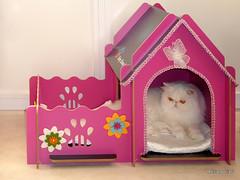 SAM_0347 300 (Adriano Clari) Tags: gatti cats gatto cat pet allevamento breeder adriano clari