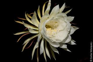 Epiphyllum spp-Orchid Cactus