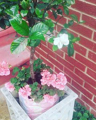 This gardenia flower greeted me by the door this morning as Isaiah and I checked the mail. The luxious scent of the flowers are even prettier then the tree. I bought it at a deep discount in this spring because it was dying. I hope I can keep the tree ali (Allison Keys) Tags: this gardenia flower greeted me by door morning isaiah i checked mail the luxious scent flowers even prettier then tree bought it deep discount spring because was dying hope can keep alive through winter