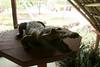 matanzas-4.jpg (BradPerkins) Tags: crocodilefarm crocodile cuba animals