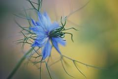 nigella goes crazy (christian mu) Tags: flowers bokeh nature summer münster muenster botanicalgarden botanischergarten schlossgarten germany christianmu sonya7ii sony 9028g 9028 90mm macro