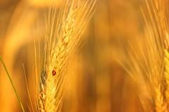 Ladybug (pszcz9) Tags: polska poland przyroda nature natura owad insect zbliżenie closeup bokeh beautifulearth sony a77 zboże grain
