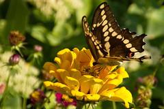 Giant Swallowtail ( Papilio cresphontes ) (sr667) Tags: butterfly giantswallowtail papiliocresphontes papilioninae papilionidae papilionoidea animalia arthropoda lepidoptera dunnville on canada ca papilio pcresphontes canon 18250mmf3563dcos 18250mm sigma