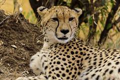 Big Cats I (Cheetah) (_Hadock_) Tags: kenya animal nature wild cheetah chita cheeta xita face closeup salvaje naturaleza animales cara nikon d750 tamron 70300 creative commons comons full hd fondo de pantalla screensaver desktop wallpaper walpaper
