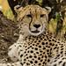 Big Cats I (Cheetah)