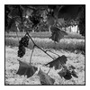 The Hidden Gems (exreuterman) Tags: vines grapes vineyard wine production red white sec demisec dry medium fullbodied monochrome bw m43