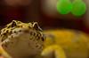 Handsome boy! (aqugacosmo) Tags: pentax k5 k5iis k5ⅱs tamron sp90 macrolens reptiles eublepharismacularius leopardgecko tangerine supergiant japan ulu ペンタックス タムロン タムキュー マクロレンズ 爬虫類 レオパードゲッコー レオパ ヒョウモントカゲモドキ 男前 イケメン 親バカ