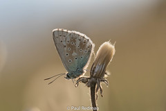 When the sun was out (predman69) Tags: butterfly poldenhills somerset bokeh white blue brown dandelion chalkhillblue