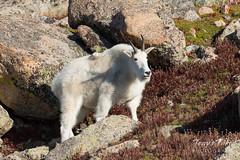 Mountain Goat climbing higher
