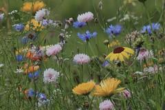 Garden Flowers (Cal Killikelly) Tags: wildflowers rspb wetlands nature reserve jardin summer grass fantasticflower
