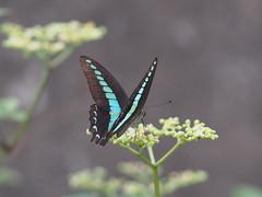 アオスジアゲハ (Polotaro) Tags: mzuikodigital45mmf18 butterfly insect bug nature olympus epm2 pen zuiko チョウ 蝶 虫 昆虫 自然 オリンパス ペン ズイコー 7月