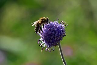 Devilsbit Bee